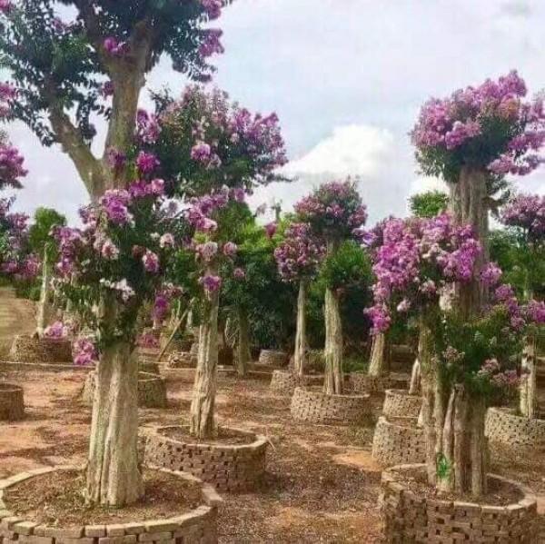 Bán cây bằng lăng bonsai tại Minh Đức