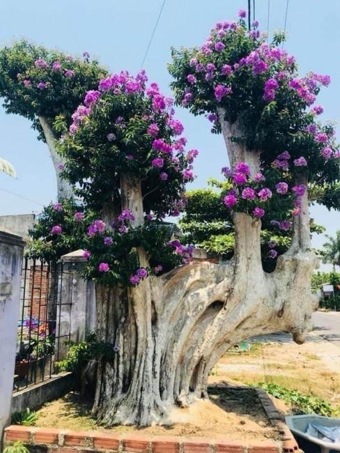 Bán cây bằng lăng bonsai tại Tân Khai