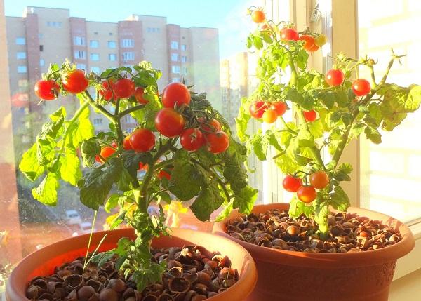 Bí quyết trồng cà chua đơn giản ngay tại nhà