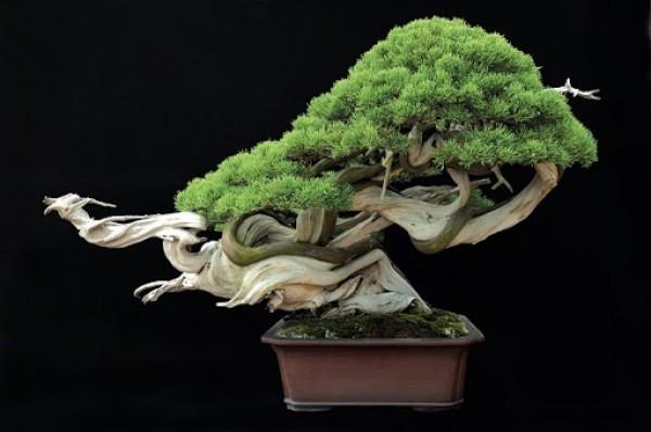 Cây bonsai ngày nay được sử dụng rất nhiều