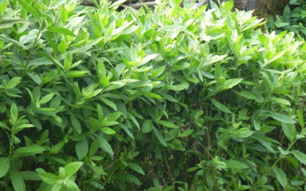 Cây Cúc Tần: Thực phẩm, thảo dược điều trị bệnh an toàn hiệu quả