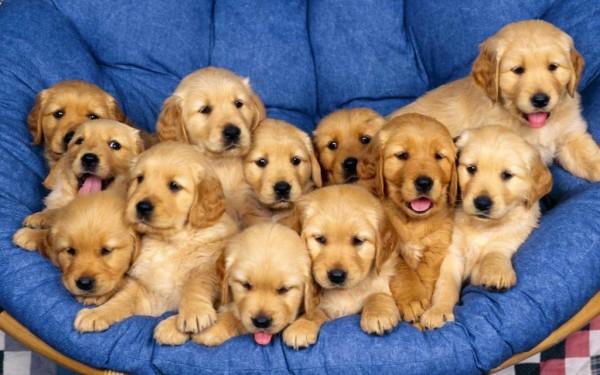 Chó Golden Retriever giá bao nhiêu? Cập nhật bảng giá Golden Retriever hiện nay.
