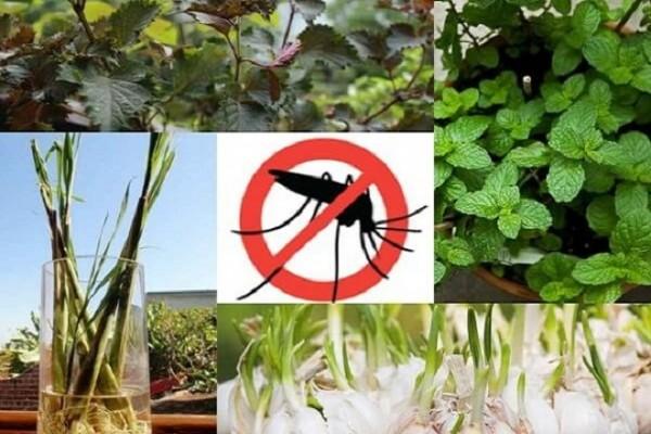 Dành cho bạn những cách tự nhiên đuổi sạch muỗi