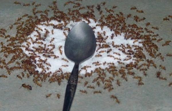 Đuổi muỗi kiến sẽ biến mất sau thời gian ngắn