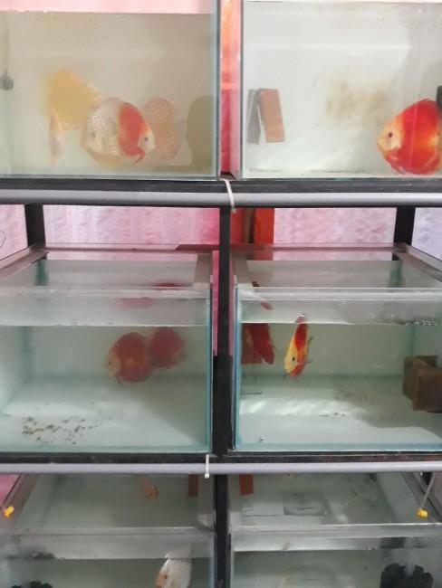 Giá các loại cá dĩa hiện nay