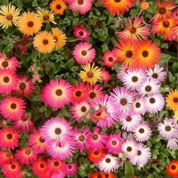 Hạt giống hoa mười giờ Châu Phi mix màu