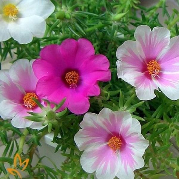 Hạt giống hoa mười giờ Mỹ đơn mix nhiều màu