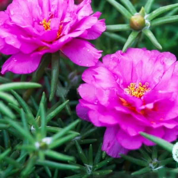 Hạt giống hoa mười giờ Mỹ hồng kép 50 hạt