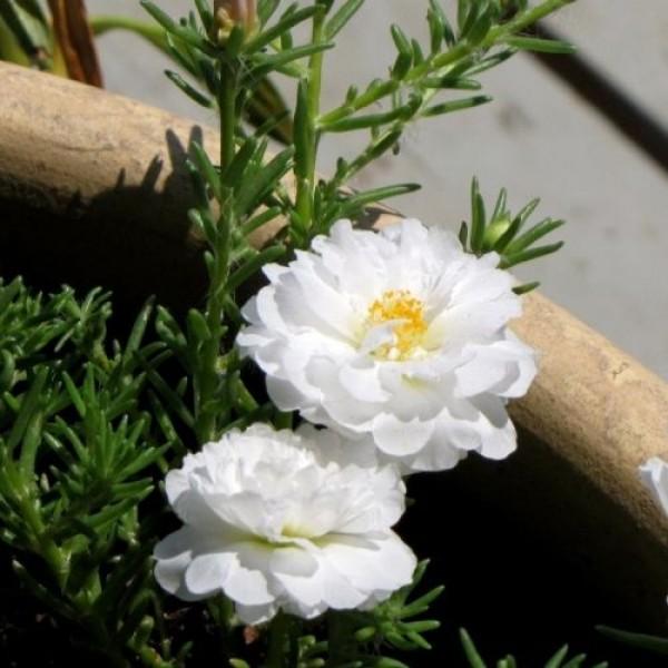 Hạt giống hoa mười giờ Mỹ trắng kép 50 hạt