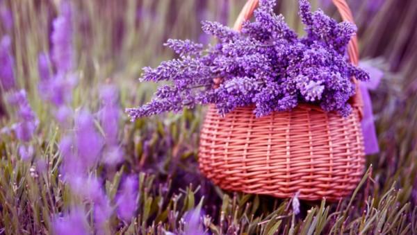 Hoa oải hương là biểu tượng của sự tinh khiết, thanh bạch