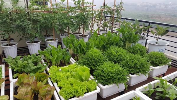 Kinh nghiệm tự trồng rau sạch và không sâu bệnh