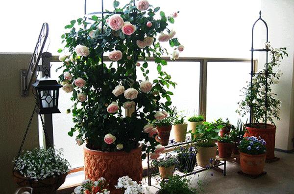 Kỹ thuật trồng cây hoa Hồng trong chậu