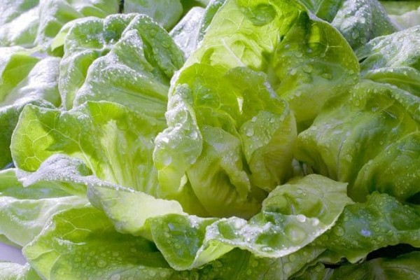 Lợi ích rau xà lách mang lại cho sức khỏe