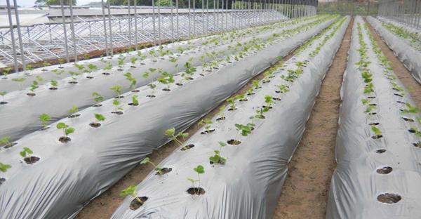 Màng PE phủ đất, màng phủ luống loại dày, màng phủ nông nghiệp giá rẻ, bán màng phủ nông nghiệp