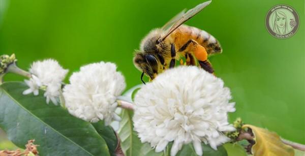 Mật ong hoa cà phê nguyên chất Trần Mao