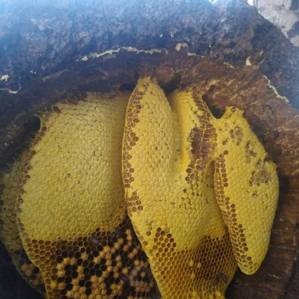 Mật ong rừng nguyên chất, nhiều công dụng tốt