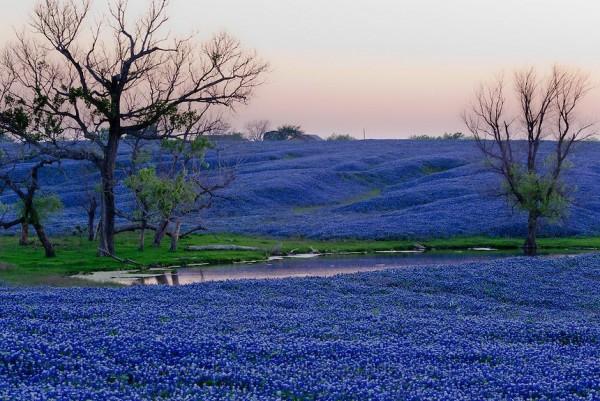 Miền Tây Texas ngập tràn sắc tím của hoa Bluebonnet