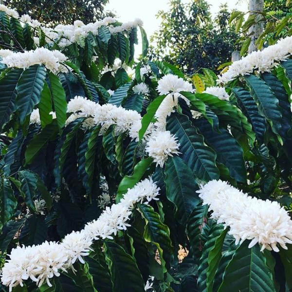 Mùa hoa cà phê nở giữa trời đẹp như bản tình ca tuyết trắng