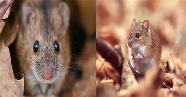 Mùi xác chuột phân hủy không chỉ hôi thối khó chịu