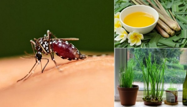 Những cách tự nhiên đuổi sạch muỗi để bảo vệ cho gia đình