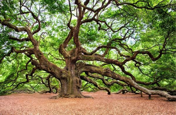 Những cây cổ thụ trở thành biểu tượng nước Mỹ