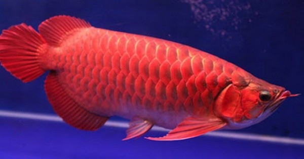 Những đặc điểm thú vị về cá Rồng