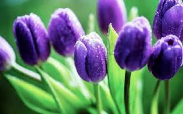 Những loại hoa đẹp nhưng vô cùng độc hại cho sức khỏe