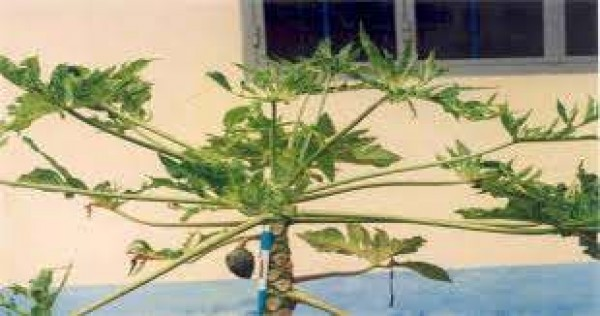 Phòng và trị bệnh khi cây đu đủ xoăn lá