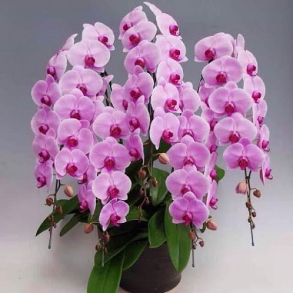 Shop The Orchid Bến Sạn Tây chuyên cung ứng cây Lan Hồ Điệp uy tín và chất lượng.