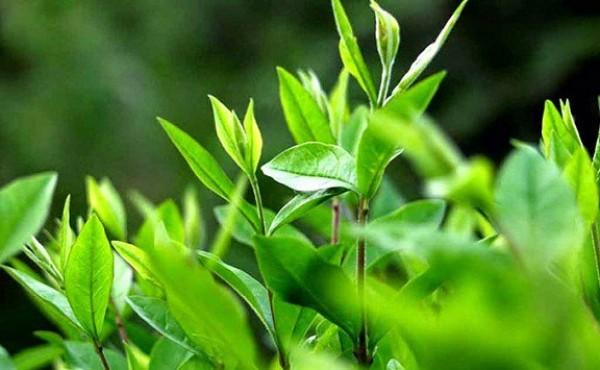 Sức mạnh từ trà xanh cho sức khỏe