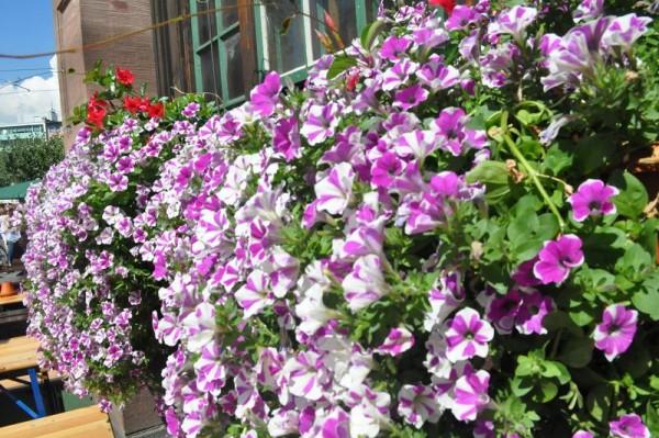Tăng sức hút cho ban công nhà nhờ những loài hoa