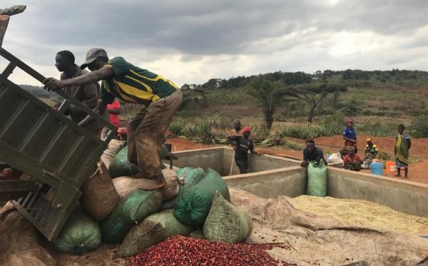 Tanzania thiên đường cà phê nên tìm hiểu