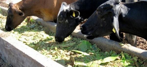 Thiết bị đo khí thải được hình thành trong dạ cỏ của bò