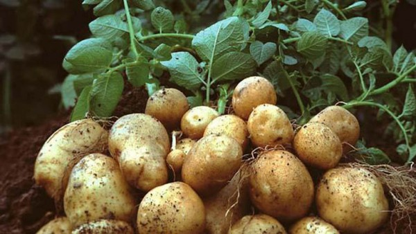 Tìm hiểu xem những tác dụng tuyệt vời từ khoai tây