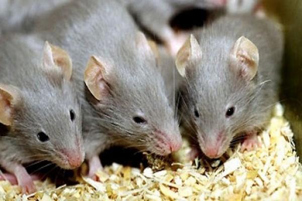 Việc tống khứ chuột ra khỏi nhà giờ đây sẽ không còn khó